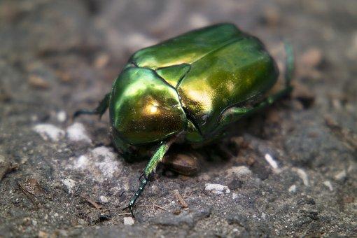 Beetle, Zlatoň Plain, Zlatoň, Cetonia Aurata