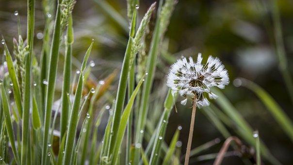 Dandelion, Morgentau, Dewdrop, Drip, Close Up, Dew