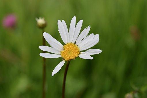 Flower, Marguerite, White Petals, Flower Bud, Daisy