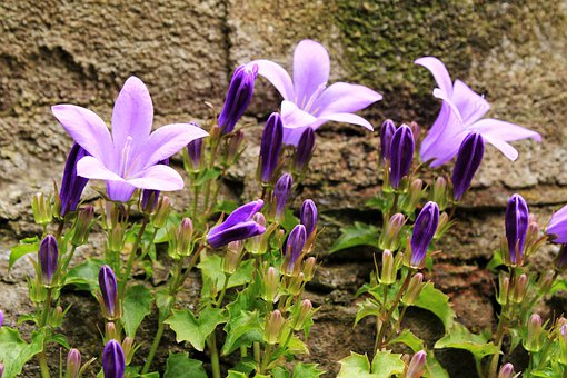Flower, Bluebell, Blue Star, Blue, Butterfly Orchid