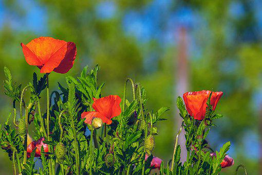 Poppy, Flower, Klatschmohn, Flowers, Flora
