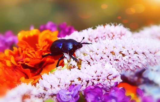 Forest Beetle, The Beetle, Garden, Flowers, Insect