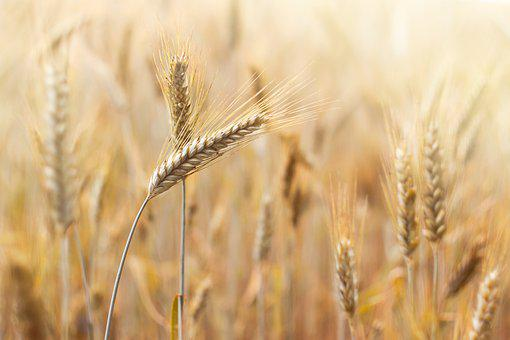 Corn, Wheat, Agriculture, Field, Nature, Grains