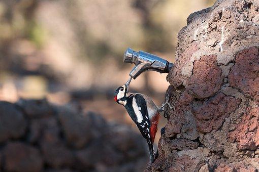 Great Spotted Woodpecker, Bird, Avian, Woodpecker