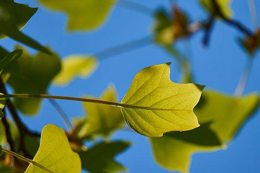 Tulip Tree, Leaf, Green, Form, Beautiful, Sky, Blue