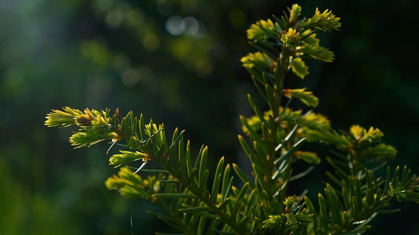 Nature, Plants, Iglak, Twigs, Green, The Buds, Young