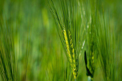 Cereals, Spikes, Field, Wheat, Harvest, Barley