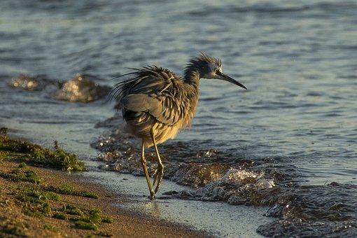 Heron, New Zealand, Bird, Nature, Outdoors, Shore, Lake