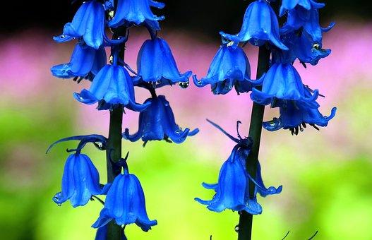 Hyacinth, Flower, Hyacinthoides Hispanica