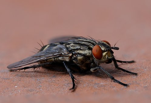 Fly, Housefly, Musca Domestica, Macro, Insect