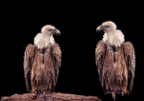 Vulture, Bird, Animal, Isolated, Transparent