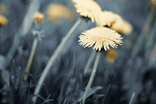 Flowers, Dandelion, Nature, Macro, Plant, Flora