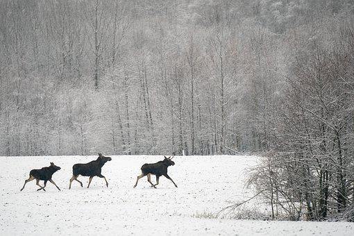 Moose, Winter, Male, Female, Null, Cow, Calf, Family