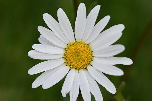 Flower, Marguerite, White Petals, Flower Bud, Stamen