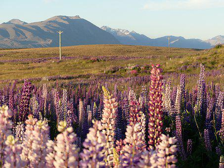 Lupins, Wildflowers, Meadow, Mountains, Sunset, Evening