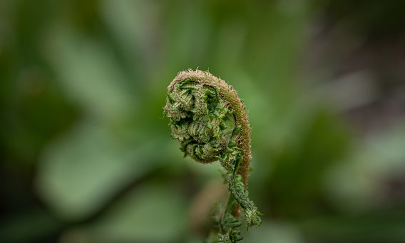 Fern, Green, Nature, Plant, Rolled Up, Forest, Close Up