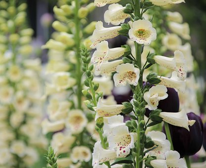 Thimble, Digitalis, Flower, Nature, Blossom, Bloom