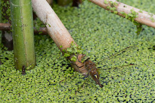 Dragonfly, Aeshna Isoceles, Water, Lake, Pond, Nature