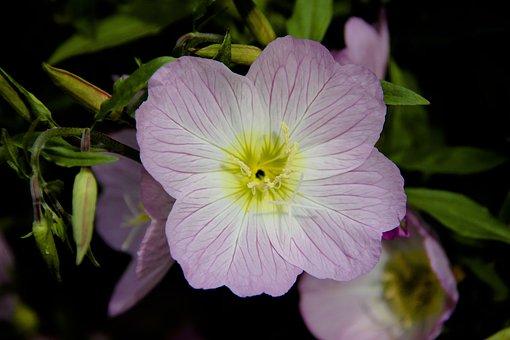 Flower, Pink, Macro, Bloom, Nature, Flora, Flowers