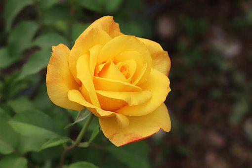 Rose, Rose Festival, Flowers, Fresh Medium, Nature