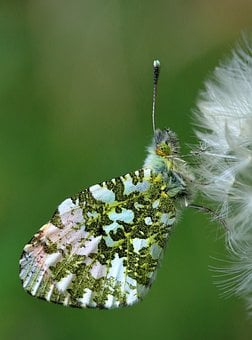Orange Tip Butterfly, Insect, Orange-tip, Butterfly