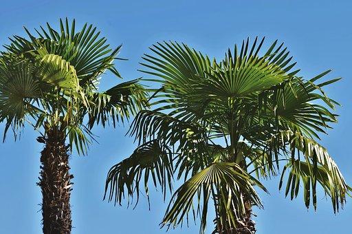 Palm, Palm Leaf, Palm Fronds, Palm Tree, Tropical