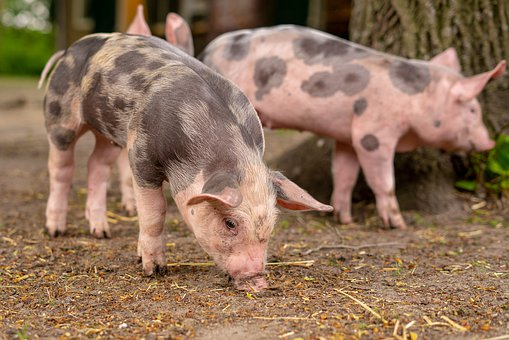 Pig, Big, Piglet, Animal, Farm, Animals, Pink, Mammal