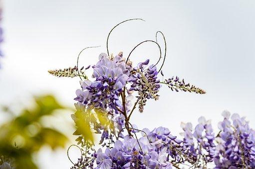 Blue Rain, Flower, Garden, Nature, Plant, Violet