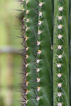 Cactus, Plant, Nature, Prickly, Desert, Spur, Green