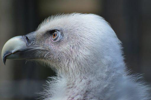 Vulture, Eye, Piercing, Head, Portrait, Bird, Plumage
