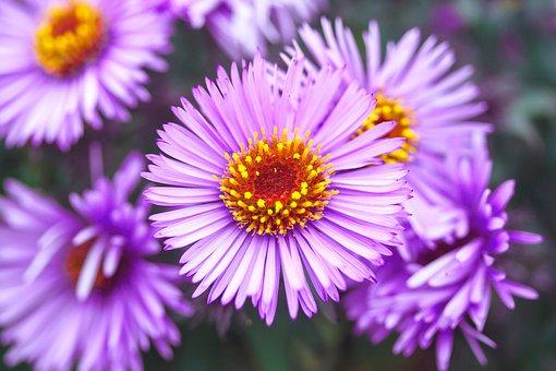 Astra, Violet, Flower, Garden, Figure, Aster, Purple