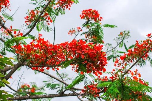 Phoenix Flower, Red Flower, My Country Flower