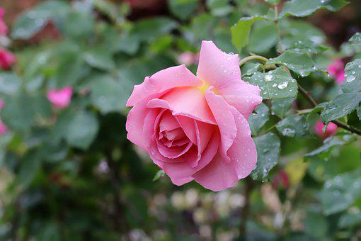 Rose, Flowers, Nature, Rose Garden, Beautiful, Plants