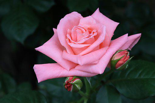 Rose, Flowers, Nature, Rose Garden, Beautiful, Plants