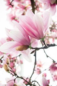 Cherry Blossom, Pink And White, Blossom, Spring, Bloom