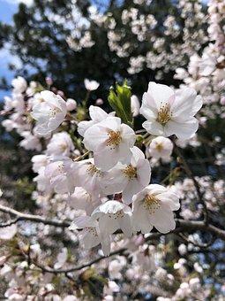 Cherry Blossoms, Sakura, Spring, Bloom, Nature, Tree