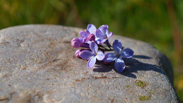 Nature, Plants, Stone, Minor, Violet, Flowers, Without