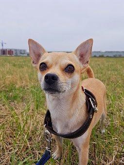 Dog, Chihuahua, Darling, Stroll, Nature, Animals, Cute