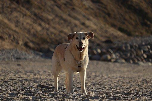 Dog, Beach, Pet, Sea, Sand, Animal, Puppy, Summer