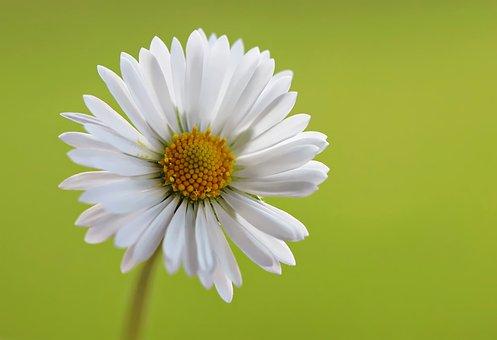 Daisy, Green, Macro, Spring, Grass, Flowers, Summer