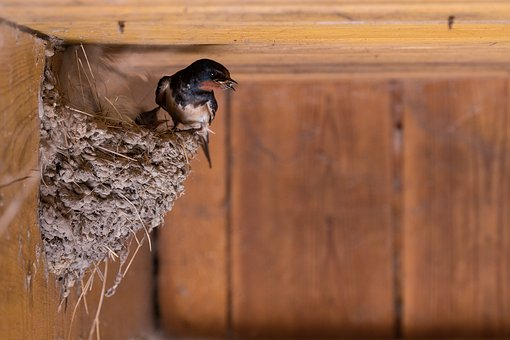 Barn Swallow, Barn, Swallow, Bird, Avian, Animal, Nest