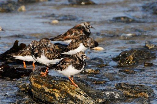Tournepierre, Sea, Wader, Birds, Turnstone