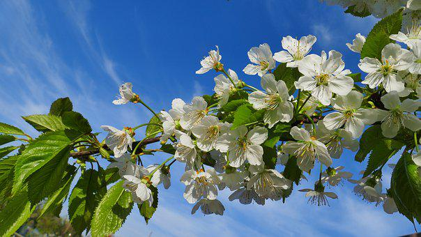 Cherry, Flowers, Spring, Nature, Tree, Flower, Garden