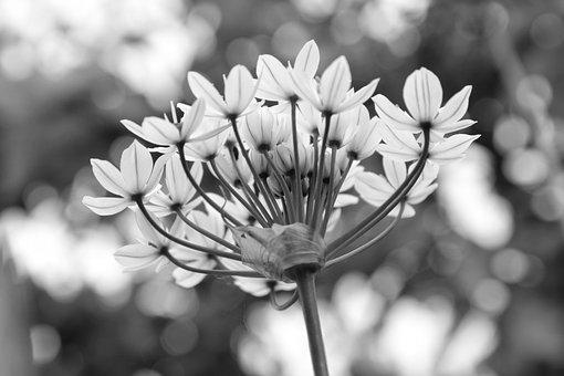Black And White, Garlic Chives, Flowers, White, Nature