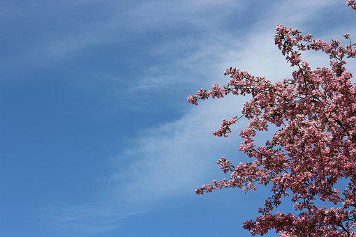 Crab Apple, Spring Sky, Pink Flowers, High Angle, Wispy