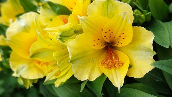 Alstroemeria Colorita, Flower, Yellow, Bloom, Stamens