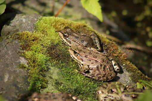 Amphibians, Frogs, Green, Frog Pond, Moss, Pond, Nature