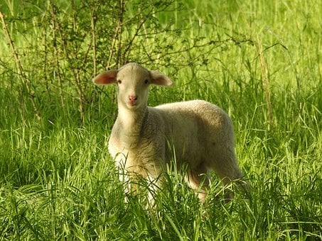 Lamb, Curious, Cute, Scheu, Pasture, Animal World