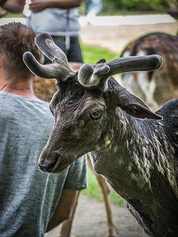 Fallow Deer, Animal, Mammal, Antlers, Nature, Wild