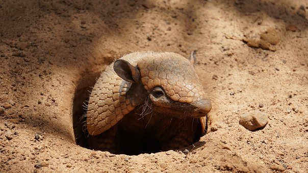 Armadillo, Dwarf Armadillo, Mammal, Zoo, Fuerteventura